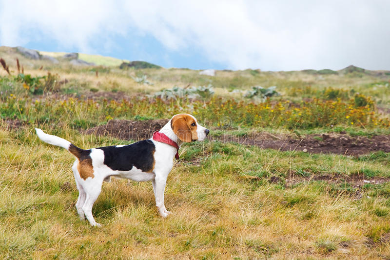Beagle dog in nature stock photo