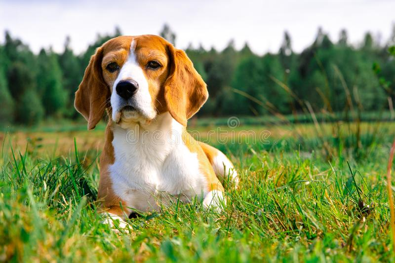 Beagle dog outdoors royalty free stock photo