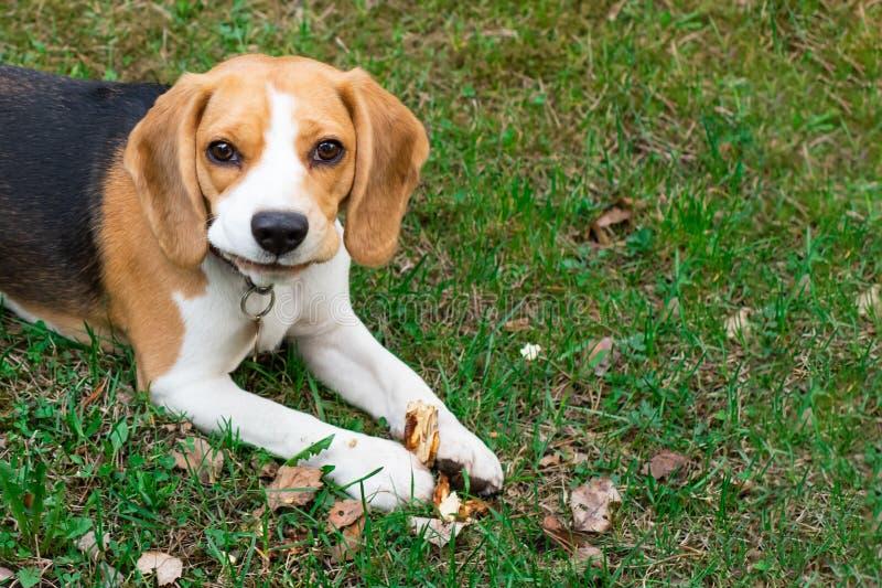 Beagle dog outdoors. Portrait of a cute, tricky beagle stock image