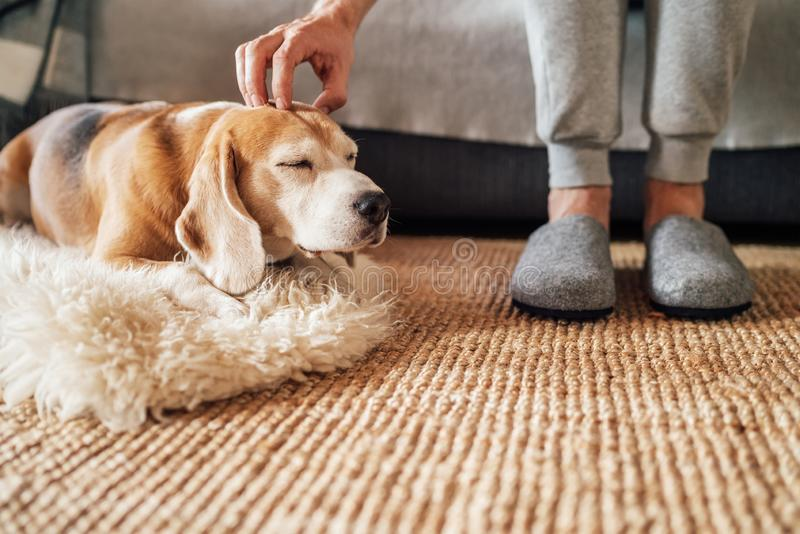 Beagle dog owner caress stroking his pet lying on the natural stroking dog on the floor and enjoying the warm home atmosphere stock image