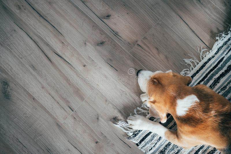 Beagle dog peacefully sleeping on striped mat on laminate floor. Pets in cozy home top view image royalty free stock photos