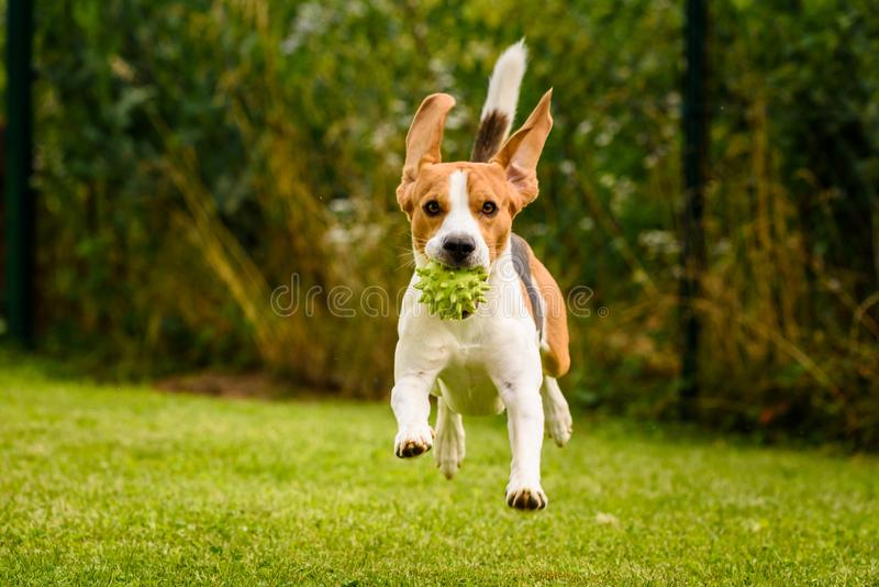 Beagle dog pet run and fun outdoor. Dog i garden in summer sunny day with ball having fun.  royalty free stock images