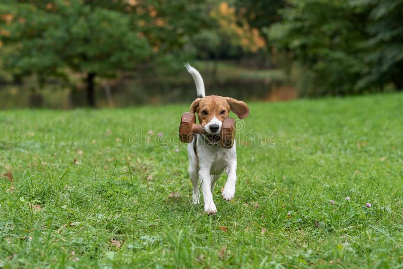 beagle dog playing with tree banch  autumn leaves in