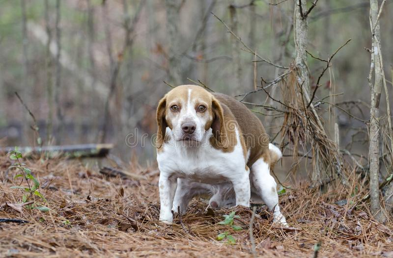 Beagle dog pooping stock photography