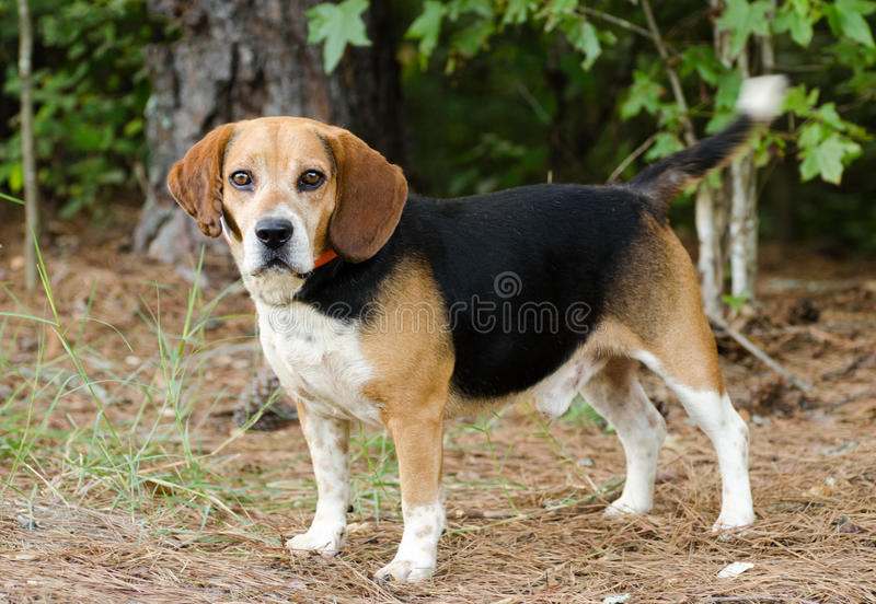 Beagle Dog. Beagle, raccoon rabbit hunting hound, outdoor pet photography, humane society adoption photo, Walton County Animal Shelter, Georgia royalty free stock images