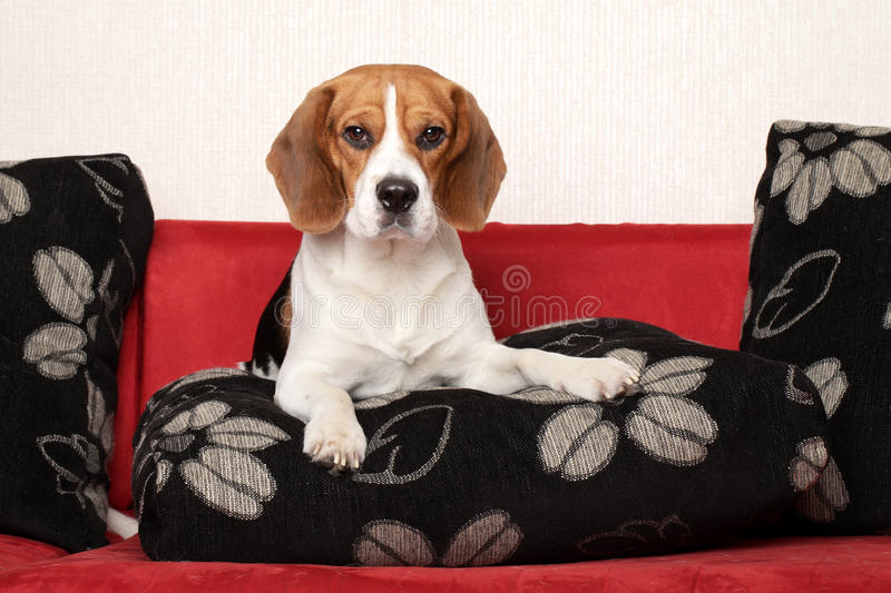 Download Beagle Dog On Red Sofa Royalty Free Stock Photography - Image: 23972187