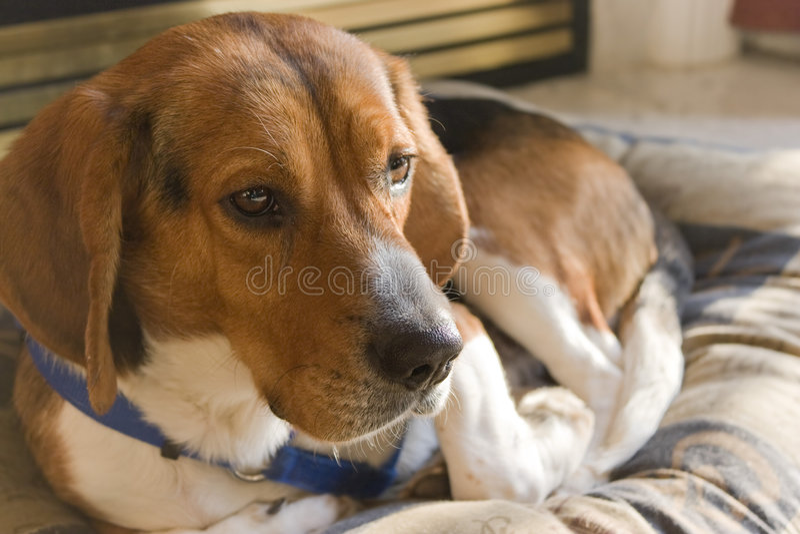 Beagle Dog Resting royalty free stock photo