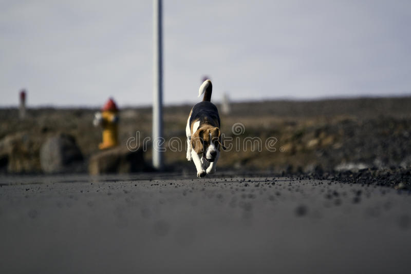 A beagle dog running royalty free stock photography