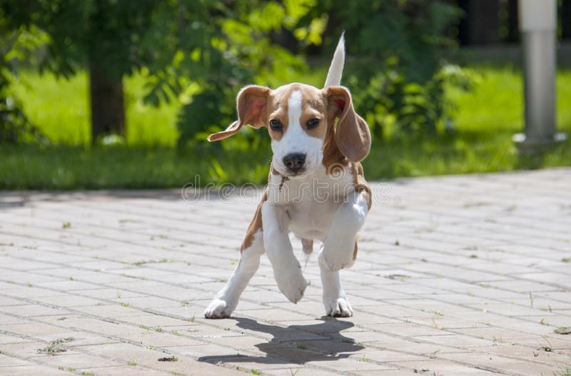 Beagle dog running across the street stock photo