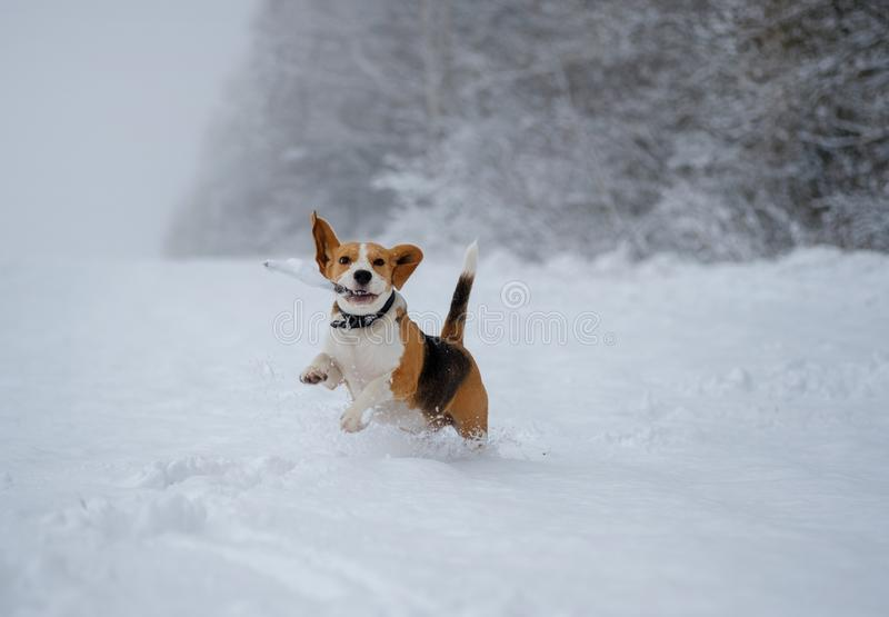 Beagle dog running around and playing with a stick in the snow stock image