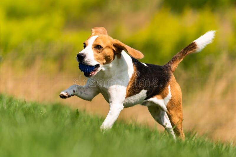 Beagle dog runs through green meadow with a ball royalty free stock photos