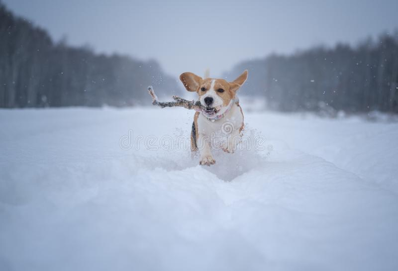 Beagle dog runs and plays in a fabulous snow-covered Park stock photo