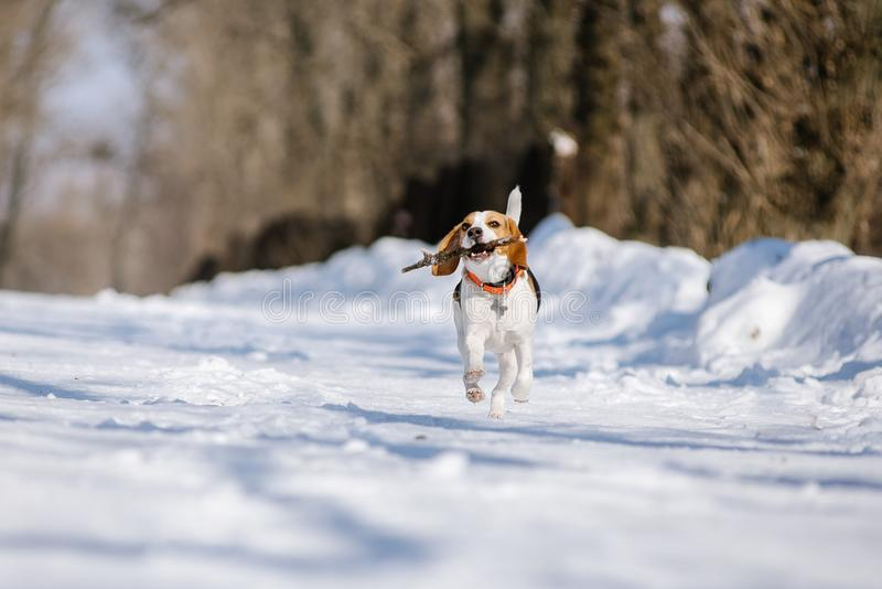 Beagle dog runs and plays in the winter forest on a Sunny frosty day royalty free stock image