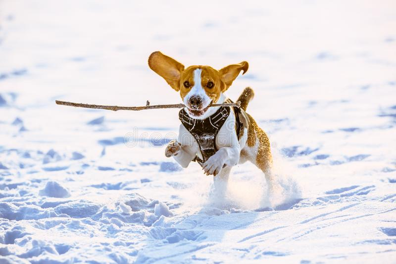 Beagle dog runs with a stick royalty free stock photography