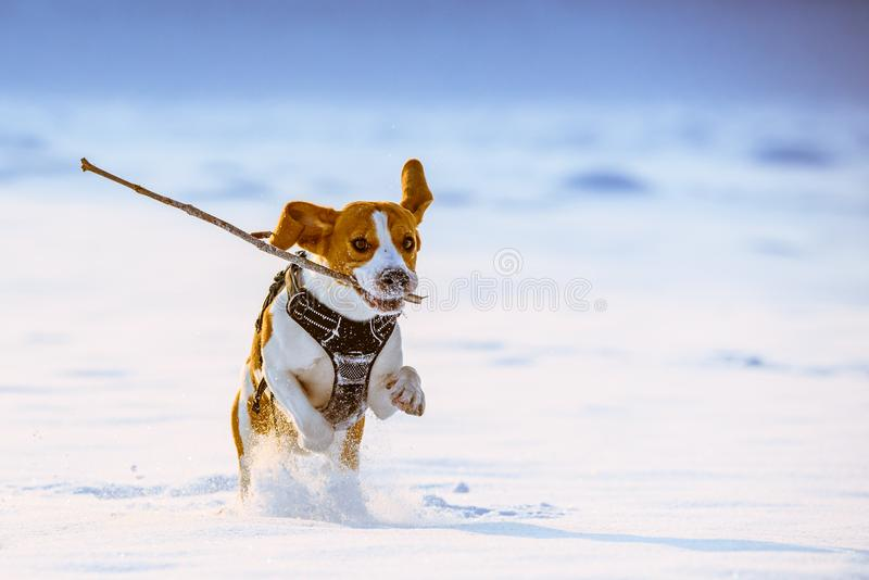 Beagle dog runs with a stick. Towards camera in a winter sunny day stock images