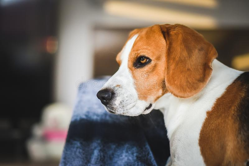 Beagle dog sad eyes big nose. Portrait stock photos
