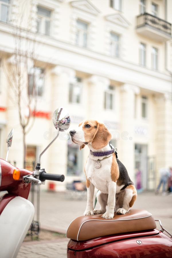 Beagle dog on a scooter on a city street stock photo