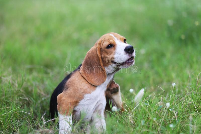 Beagle dog scratching body on green grass. stock photo