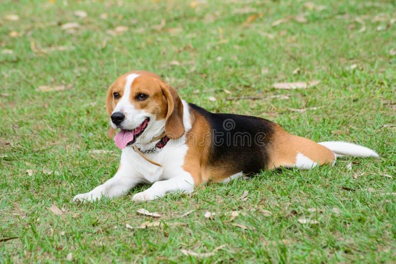 Beagle Dog sit on grass stock photos