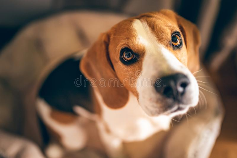 Beagle dog sitting down on his bed stock photos