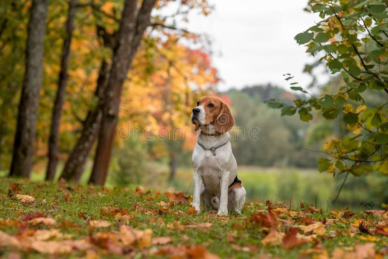 Beagle Dog Sitting on the grass. Autumn Leaves in Background. royalty free stock images