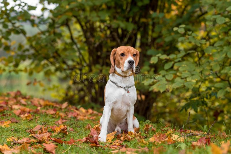Beagle Dog Sitting on the grass. Autumn Leaves in Background. stock photos