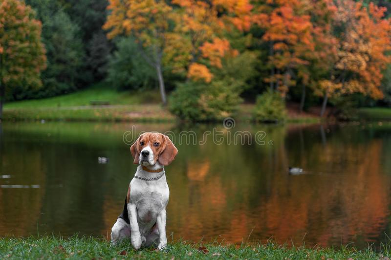 Beagle Dog Sitting on the grass. Autumn Tree Background. Water and Reflection. Duck in Background. stock photo