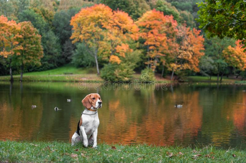 Beagle Dog Sitting on the grass. Autumn Tree Background. Water and Reflection. Duck in Background. royalty free stock photography