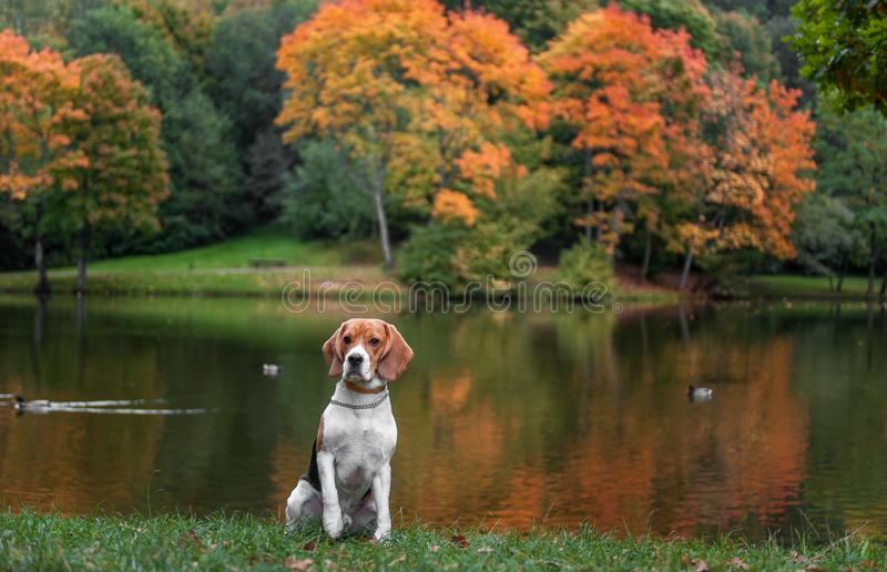Beagle Dog Sitting on the grass. Autumn Tree Background. Water and Reflection. Duck in Background. stock photography