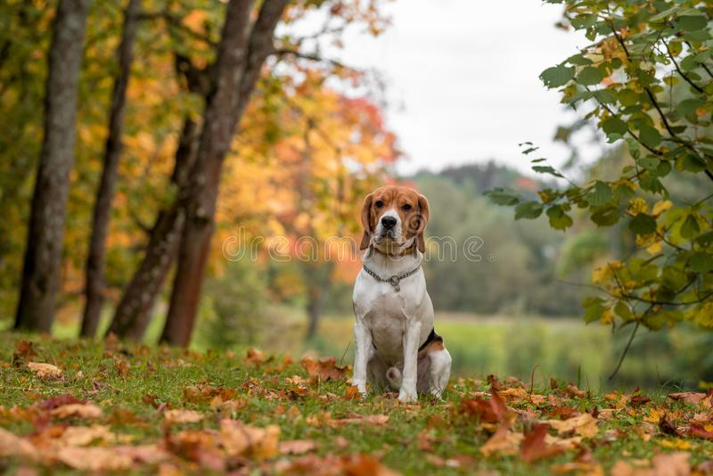 Beagle Dog Sitting on the grass. Autumn Leaves in Background. royalty free stock photos