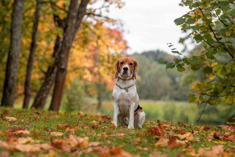 Beagle Dog Sitting on the grass. Autumn Leaves in Background. royalty free stock image