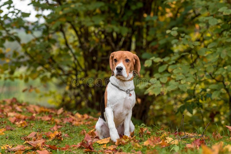 Beagle Dog Sitting on the grass. Autumn Leaves in Background. stock photography