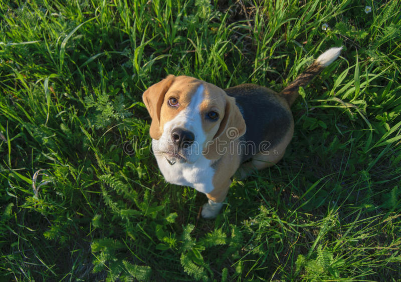Beagle dog sitting on the grass and looking up. Dog of the Beagle breed sitting on the green grass gazing upwards stock photos