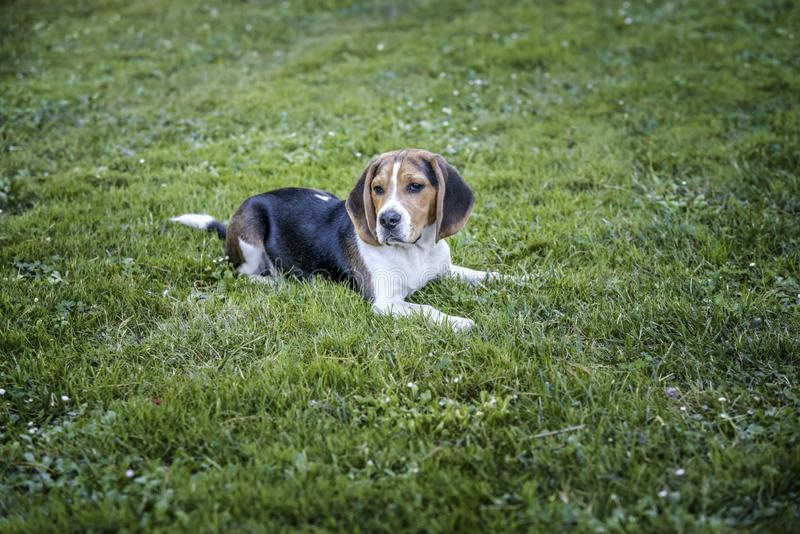 Beagle dog sitting on the grass of a natural park. Scene with a beagle dog sitting in the grass of a natural park stock images