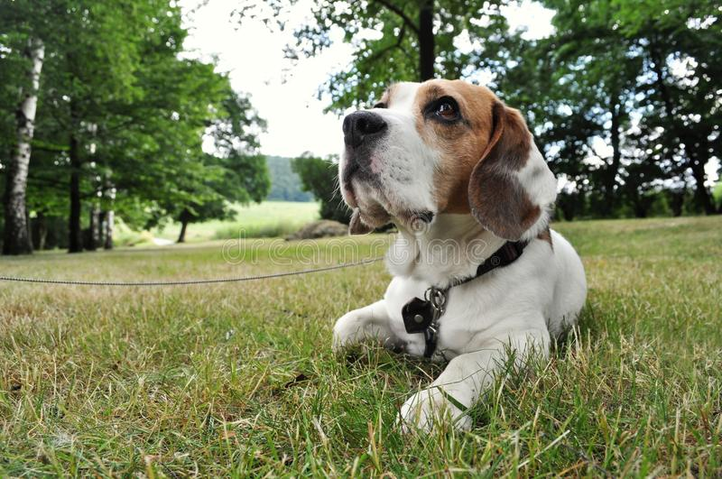 Beagle dog. Sitting on the grass in the park and waiting stock photos