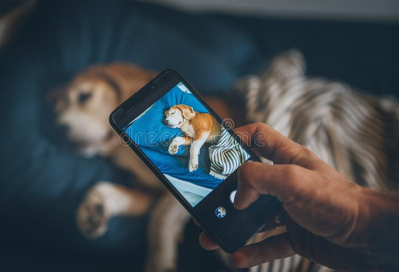 Beagle dog sleep in bed and his owner takes it photo with smartphone stock photo