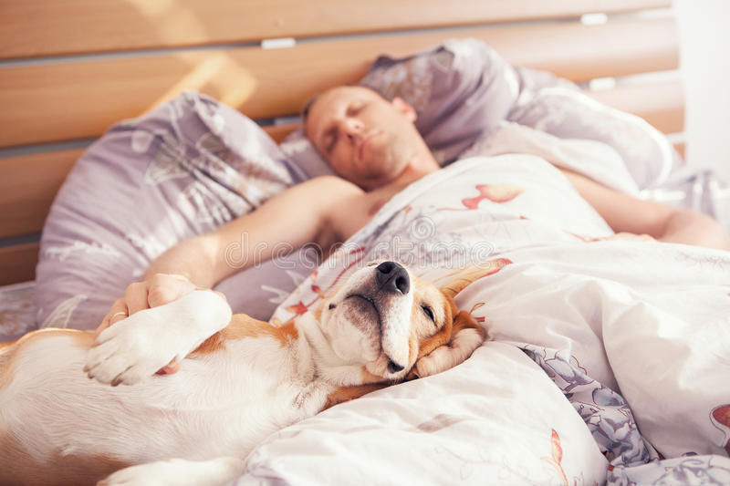Beagle dog sleep with his owner in bed royalty free stock images