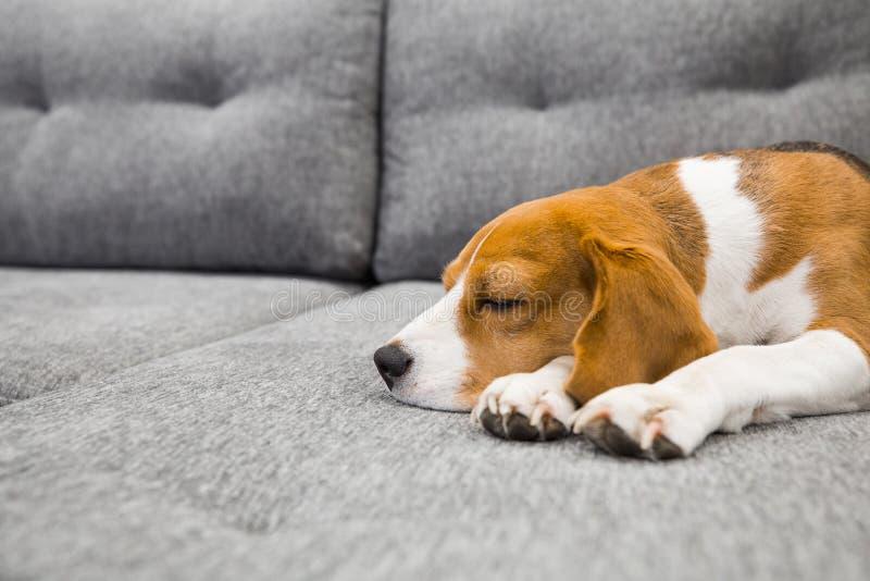 Beagle dog sleeping royalty free stock images