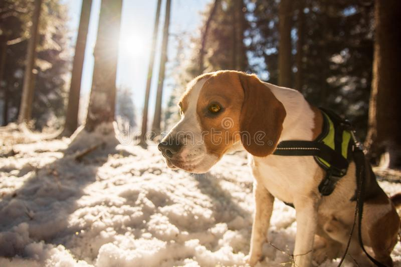 Beagle dog in snowy forest winter sun. Flare stock image