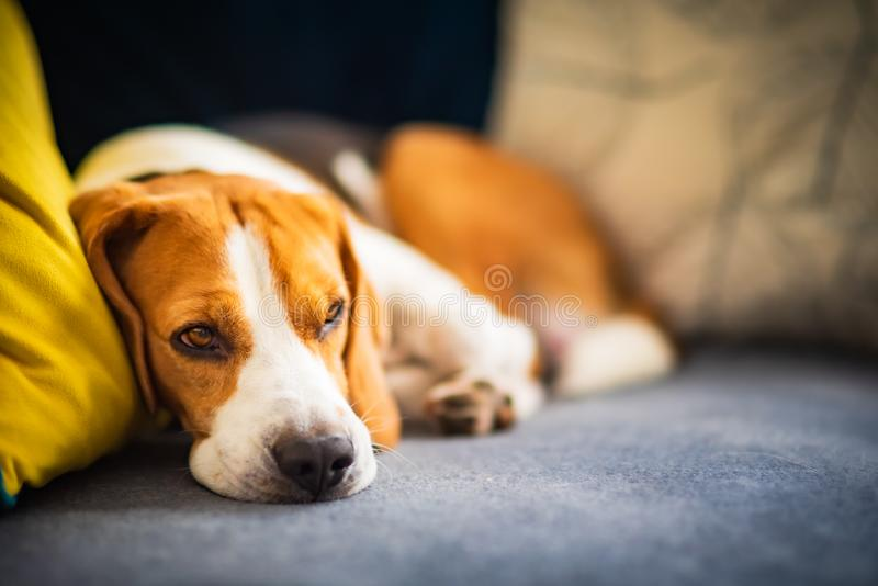 Beagle dog tired sleeps on a cozy couch in funny position. Adorable canine background. Closeup royalty free stock photos