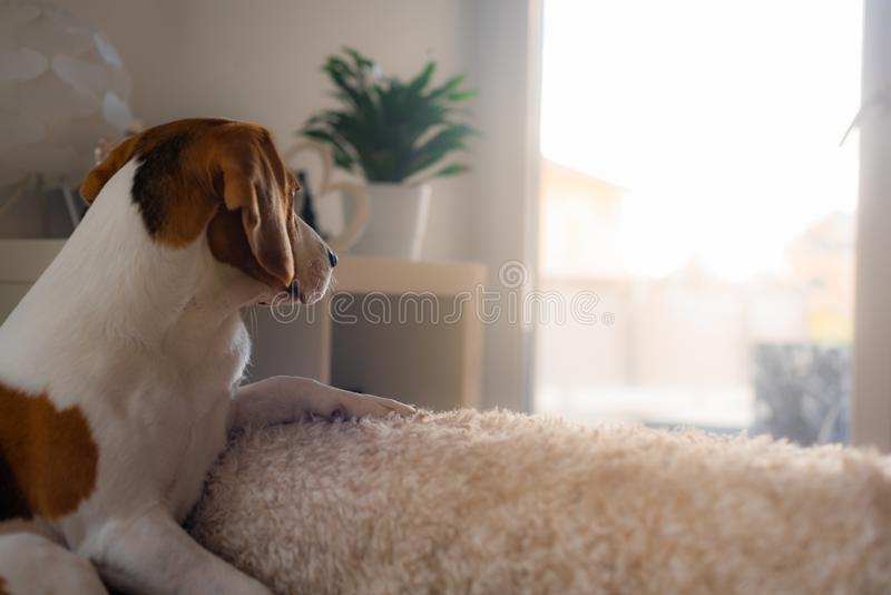Beagle dog tired sleeps on a cozy sofa, couch, sun falls through window. Dog themed background. Copy space on right stock image