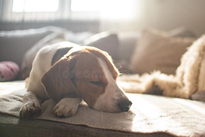 Beagle dog tired sleeps on a cozy sofa, couch, sun falls through window. Dog themed background. Copy space on right royalty free stock images
