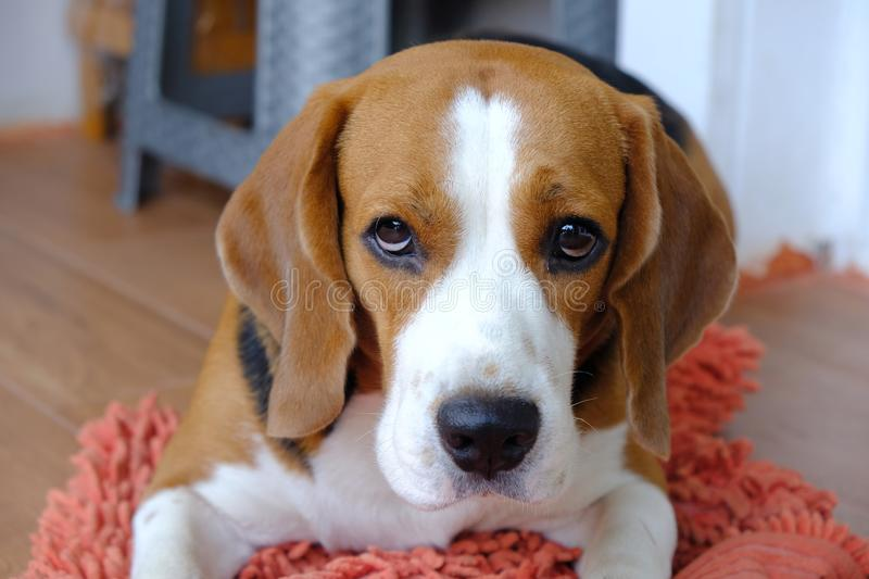 Beagle dog are watching intently stock images