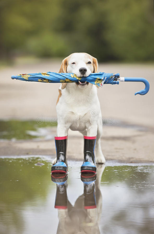 Beagle dog in wellies. Beagle dog standing outdoors in autumn royalty free stock photography