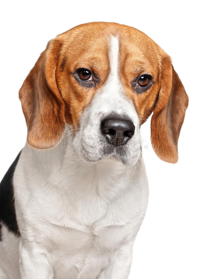 Download Beagle Dog On A White Background Stock Photo - Image of hunter, floppy: 23876350