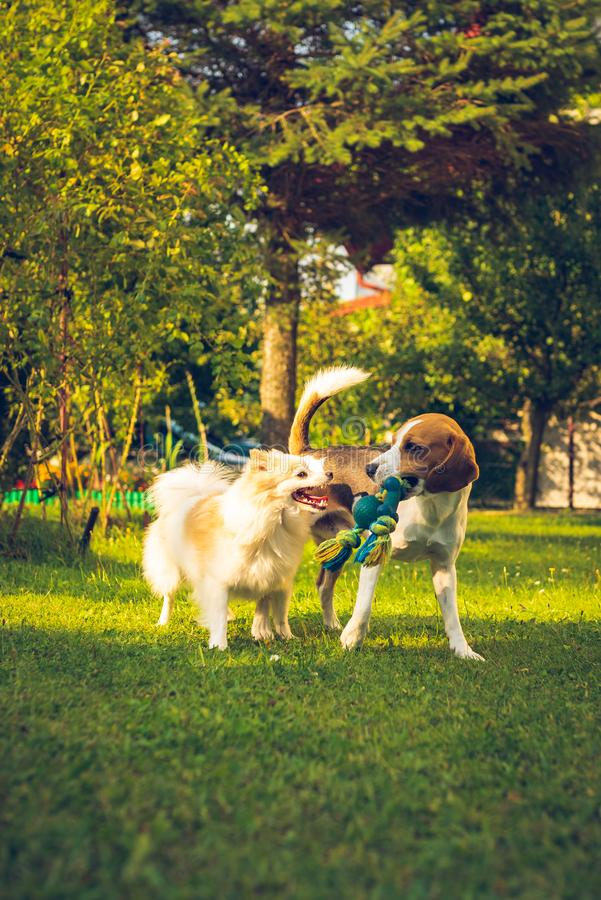 Beagle dog with white pomeranian spitz playing on a green grass stock photo
