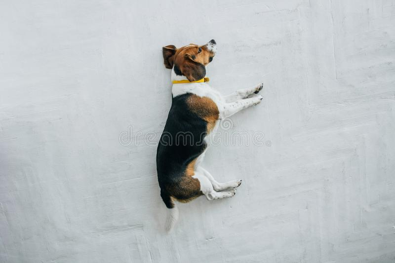 Beagle dog with a yellow collar sleeping on a white wooden floor. Sleepy dog sleeping and dreaming. Tricolor dog top stock photography