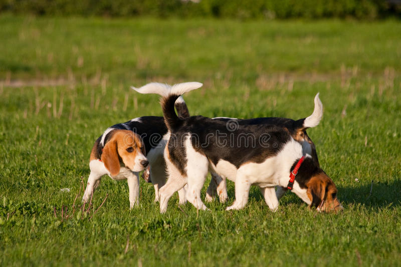 Download Beagle dogs stock image. Image of canine, young, beagle - 14850801