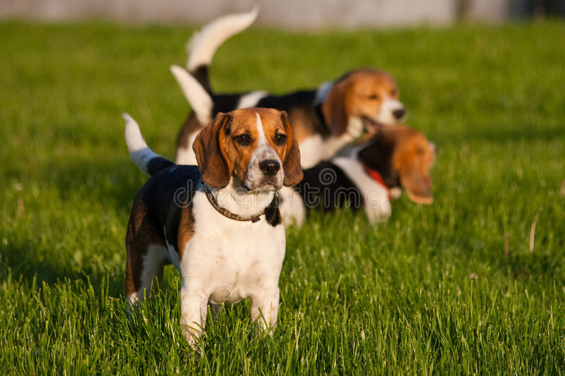 Download Beagle dogs stock photo. Image of adorable, pedigree - 14850882