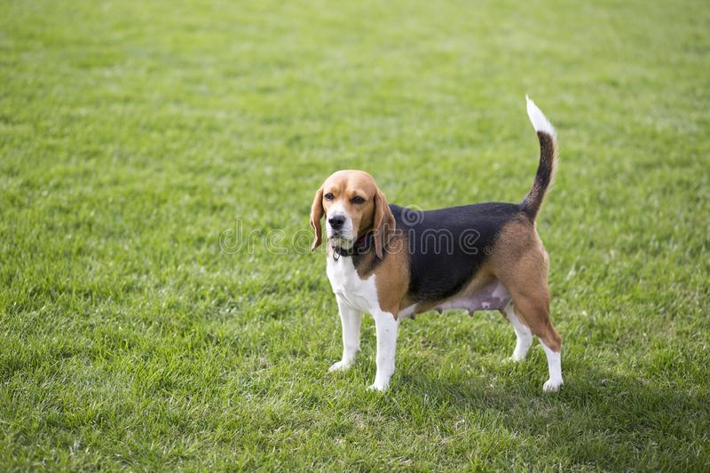 Beagle dogs stock photography
